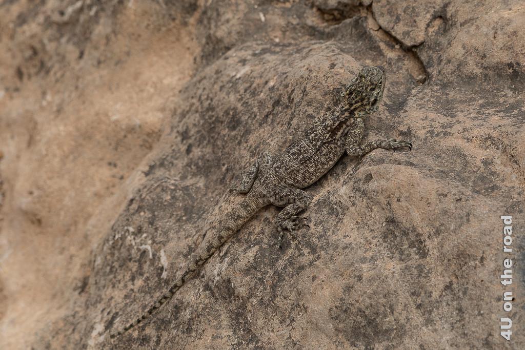 Bild Gut getarnt zeigt eine Dhofar Agame am Aussichtspunkt des Jebel Samhan. Sie hat die Farbe der Felsen und ist nur aus der Nähe zu erkennen.