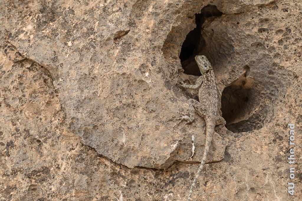 Bild Ganz geheuer ist der Agame am Jebel Samhan Aussichtpunkt unsere Aufmerksamkeit nicht zeigt die Agame vor zwei grossen runden Löchern im Fels. Es sieht so aus, als wäre die Agame noch unentschieden in welchem der beiden Löcher sie verschwinden soll.
