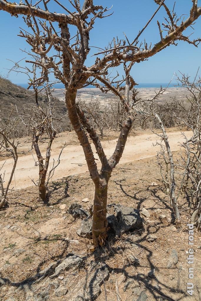 Weihrauchbaum mit alten Einschnitten