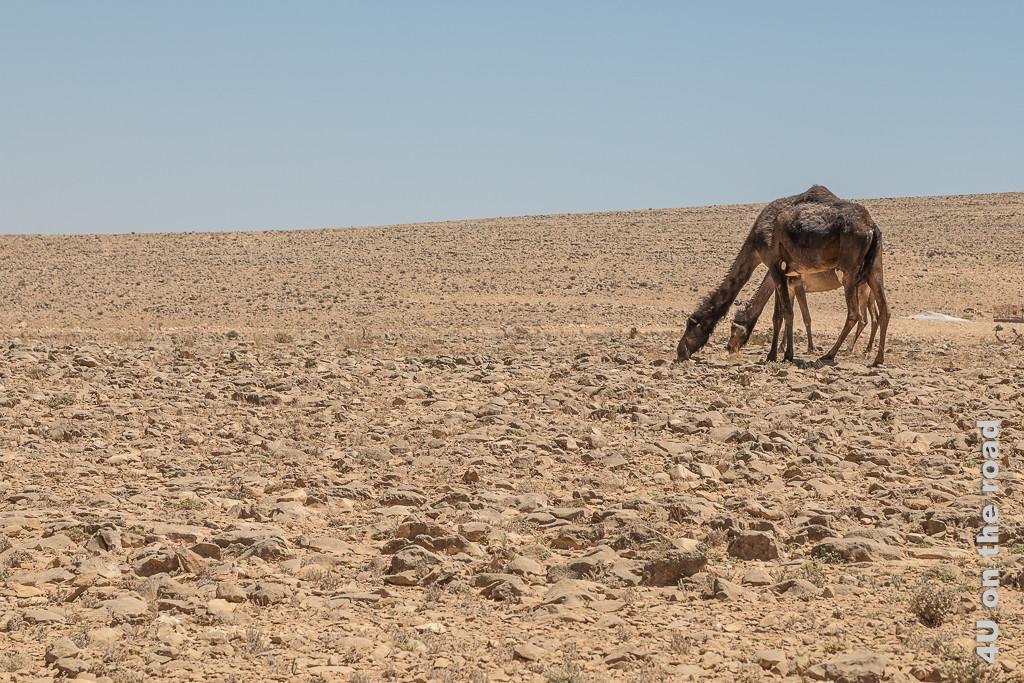Bild Kamele begnügen sich mit den trockenen Grashalmen zeigt ein sehr dunkelbraunes und ein hellbraunes Kamel in der steinigen Landschaft. Nur wenn man genau hinschaut, sieht man, dass zwischen den Steinen trocken Pflanzen stehen.
