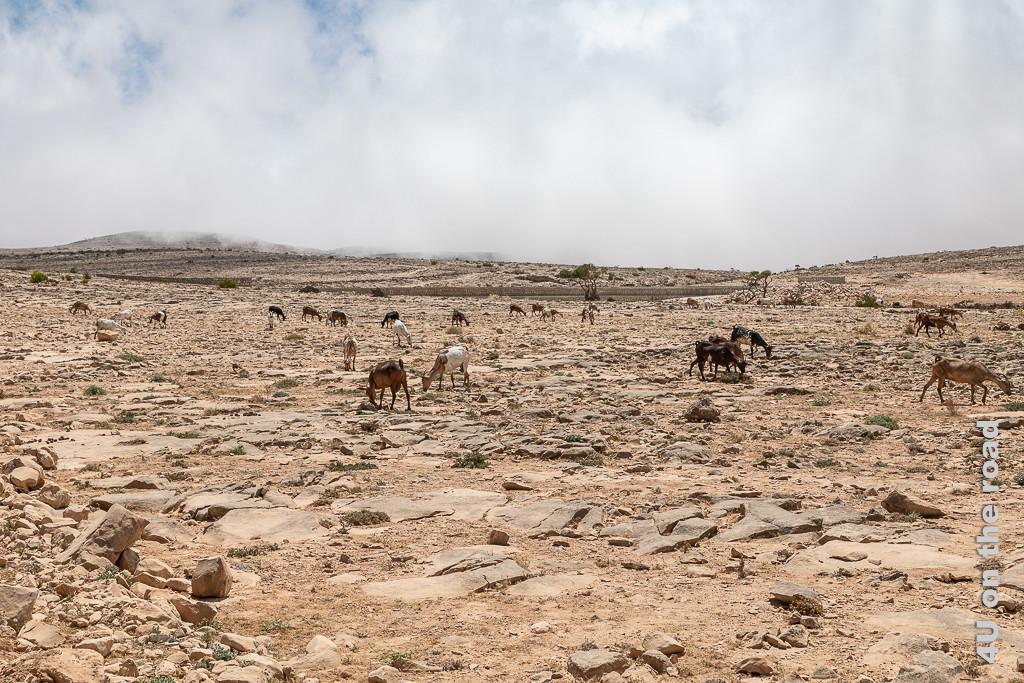 Bild Ziegen kommen vom kleinen Staudamm zeigt eine bunte, weit verstreute Ziegenherde, die vom trockenen Staudamm kommen.