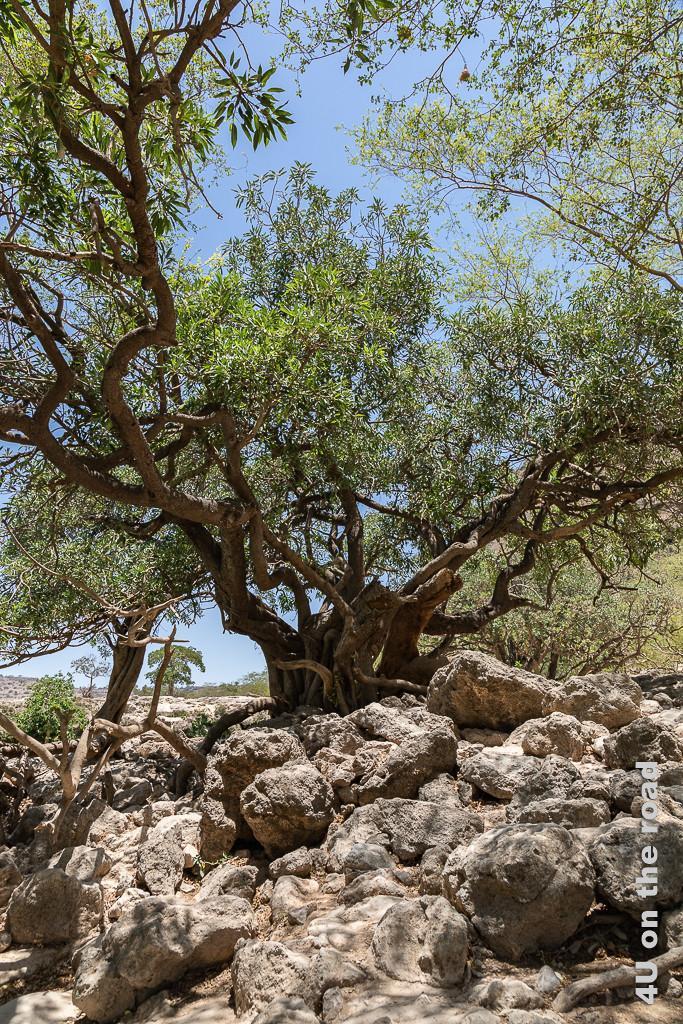 Bild Beeindruckender Baum zeigt einen Baum mit scheinbar vielen Stämmen aus denen die dicken Äste wachsen. Im Vordergrund Felsen