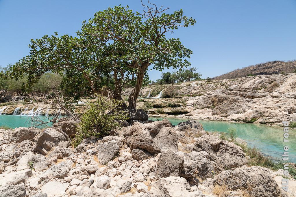 Bild Die Farben Türis und Grün tun den Augen einfach gut zeigt einen grossen Baum mit grünen Blättern, im Hintergrund Terrassen mit Wasserfällen und das Becken mit türkisfarbenem Wasser