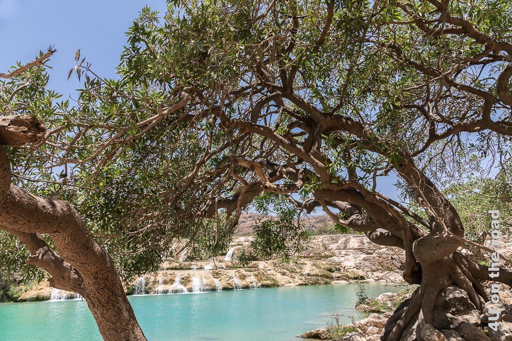 Bild Grosser Baum mit lustigem Stamm zeigt im Vordergrund einen über das türkisfarbene Wasser hängenden Baum, dessen Stamm verdreht ist und wie eine Backenzahnwurzel über einen Stein wächst.