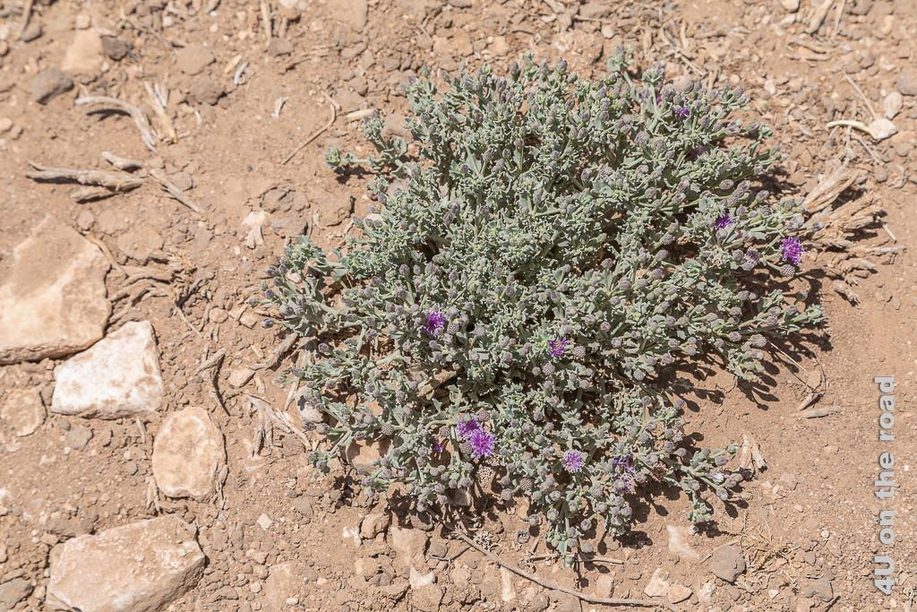 Bild Blumenpolster wachsen im Staub zeigt ein lila blühendes Blumenpolster zwischen Steinen. Die Erde sieht aus wie braunes Mehl.