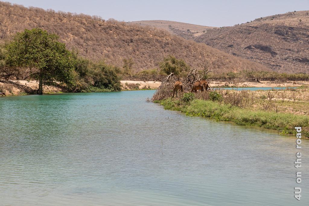 Bild Kamele am Fluss zeigt Wadi Darbat eingebettet in Hügel mit kahlen Bäumen. Nur rechts und links neben dem Fluss ist es üppig grün. Die Kamele fressen an den Ufer Pflanzen