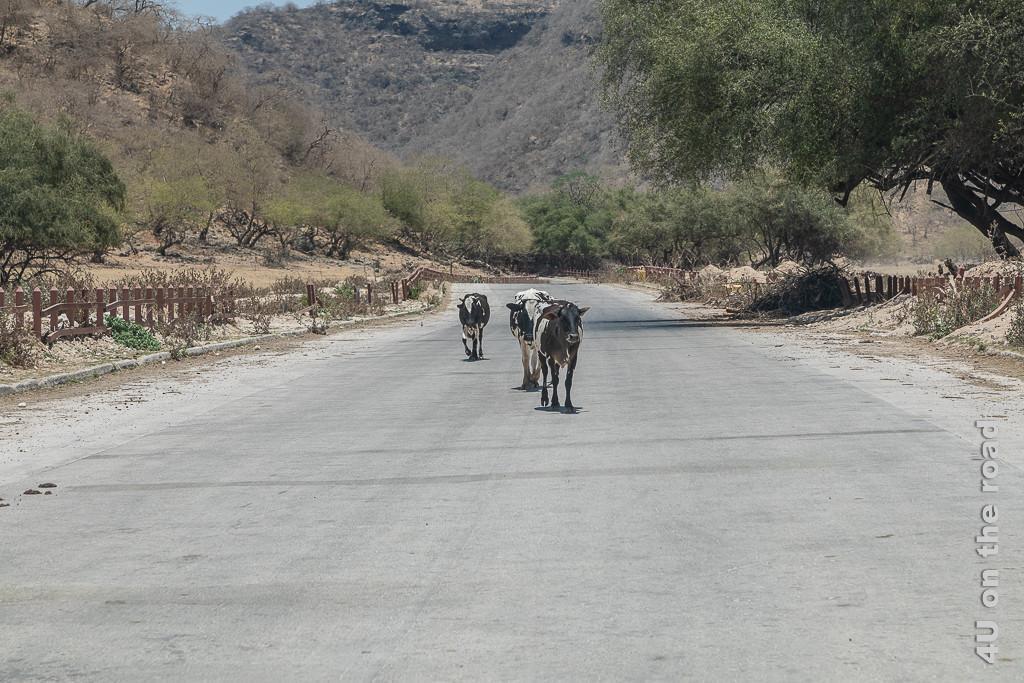 Bild Kühe auf der Strasse zeigt drei Kühe, die mitten auf der Strasse trotten. Rechts und links neben der Strasse sind defekte Holzzäune und grüne Bäume.