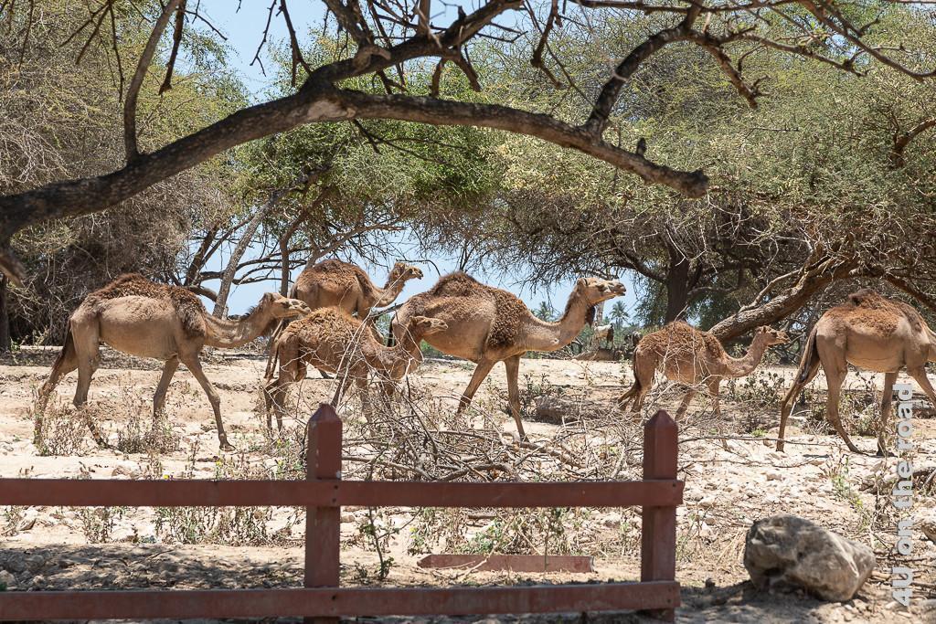 Bild Eine Herde Kamele läuft zwischen Fluss und Strasse entlang zeigt zwei Jungtiere und vier ältere Kamele, welche unter Bäumen entlang wandern