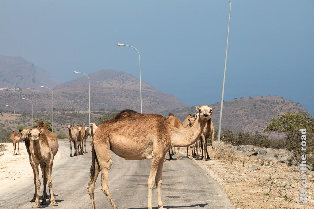 Bild Kamele blockieren die Strasse, Oman zeigt eine grössere Kamelherde, die alle in Richtung Kamera schauen. Ein Kamel hat sich quer gestellt.
