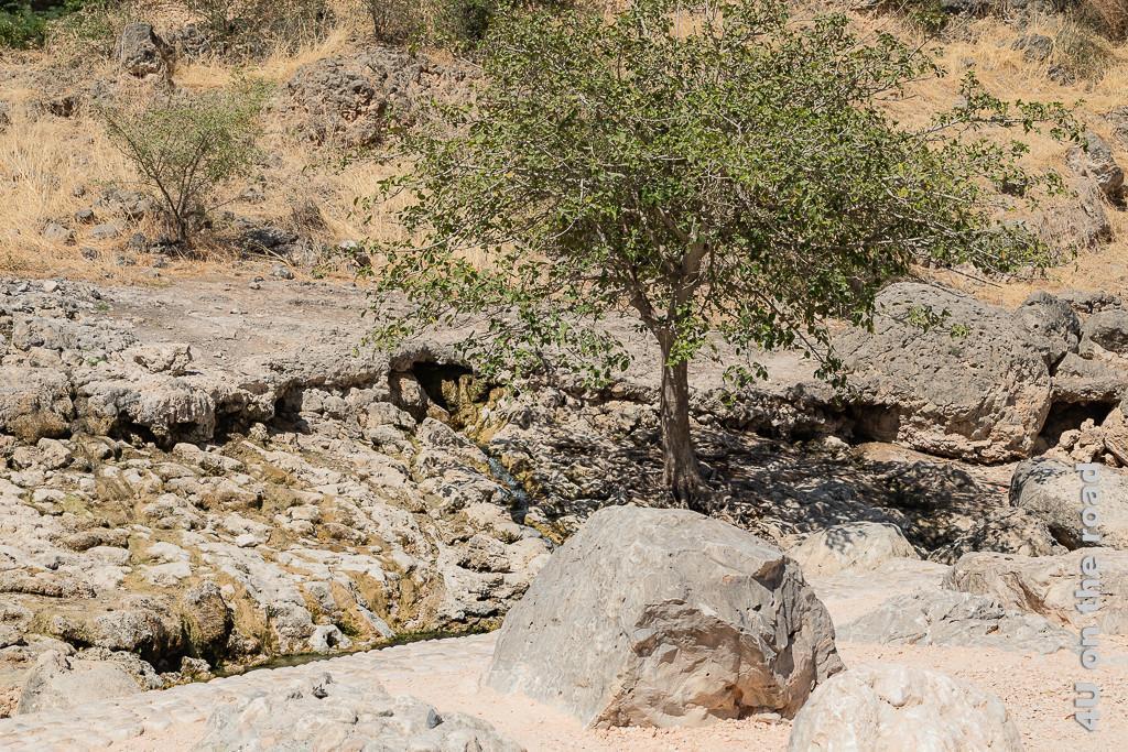 Bild Ain Razat - überall kommt aus kleinen Quellen Wasser aus dem Berg zeigt jetzt in der Trockenzeit ein Wasserrinnsal neben dem ein Baum auf dem Felsen wächst