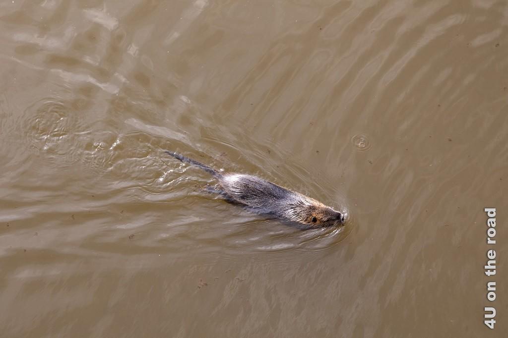 Bild Nutria in der Modlau schwimmend zeigt das grosse schwimmende Nagetier