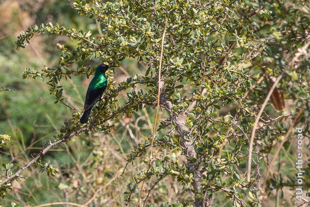 Bild Ain Razat - Vogel zeigt einen Vogel mit glänzend grün-schwarzem Federkleid, der auch vom Schnabel her an einen Kolibri erinnert