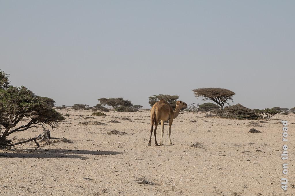 Bild Kamel in der Landschaft zeigt ein Kamel in dieser mit Bäumen bewachsenen Sandlandschaft.