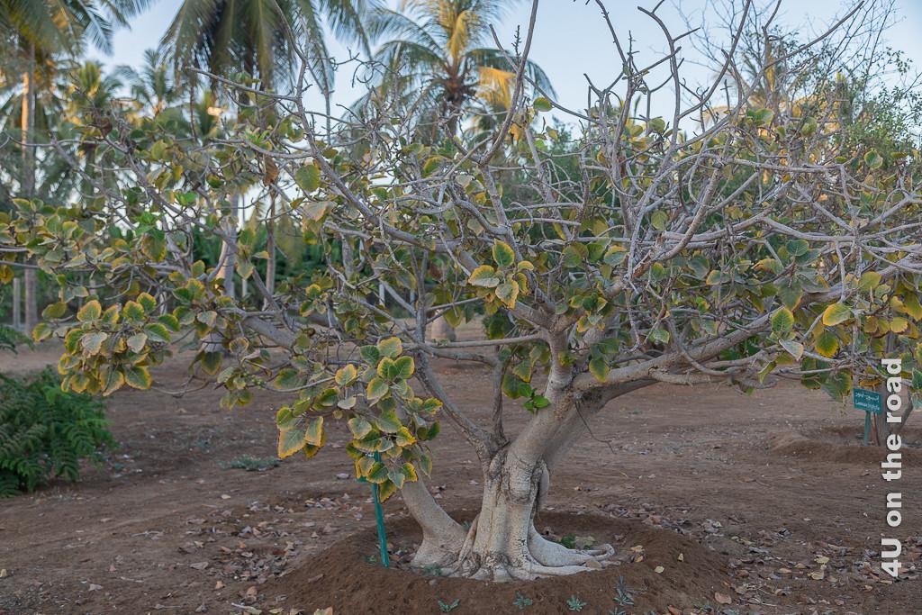 Baum im Botanischen Garten in Al Baleed . zeigt einen kleinen gedrungenen Baum, dessen Äste teilweise grosse, gelb umrandete grüne Blätter hat.