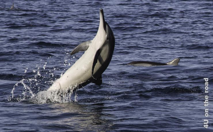 Springender Delphin