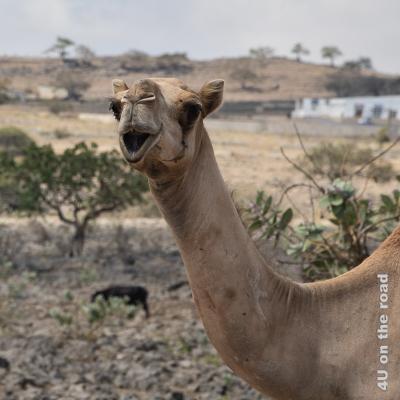 Kamel Portrait - erstaunter Gesichtsausdruck