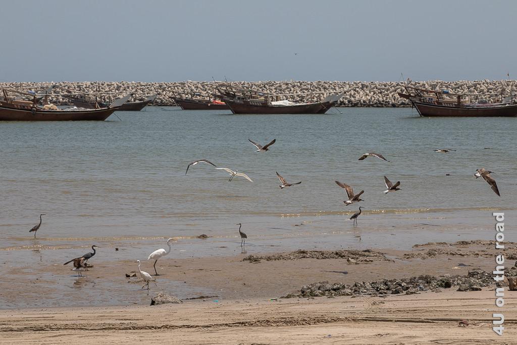 Bild Vögel im Hafen von Al Ashkharah zeigt Möwen, Kormorane, Reiher und Herons