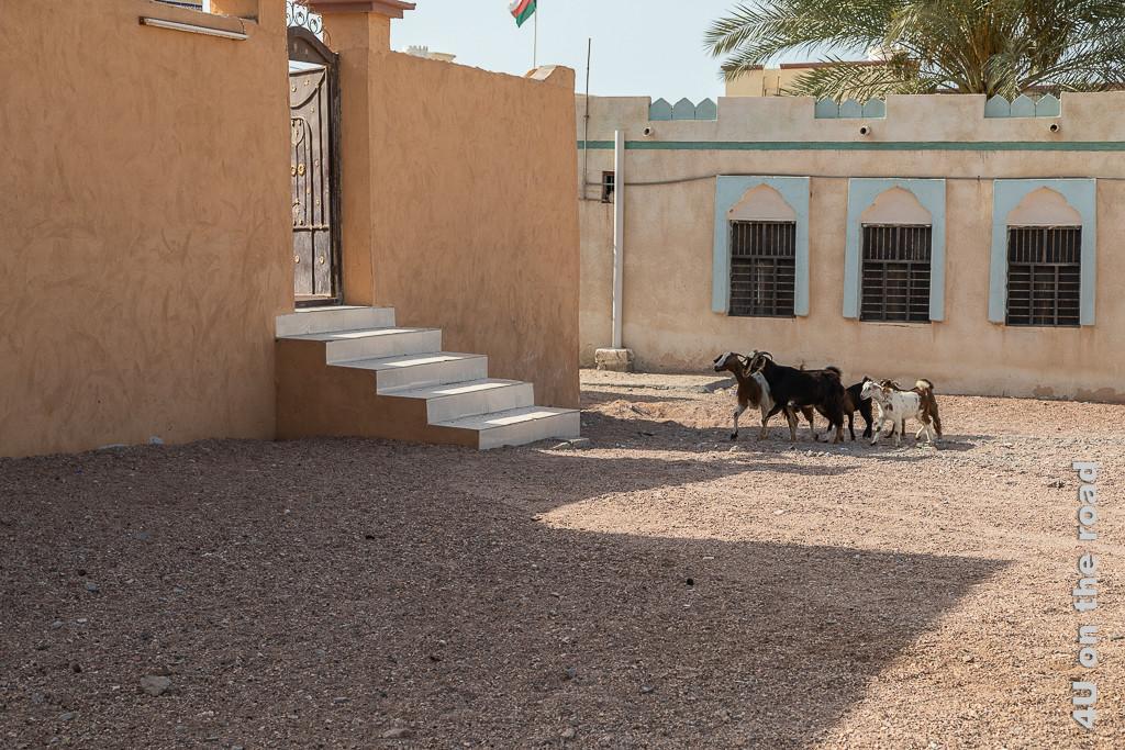 Ras al Hadd - die Ziegen wissen allein, wo sie wohnen. Bild zeigt kleine Ziegenherde, die zielstrebig die Treppen eines Hauseinganges ansteuern.