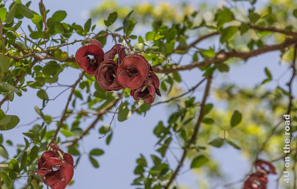 Pflanzen auf dem Parkplatz des Crown Plaza, Duqm Bild zeigt rote geringelte bohnenähnliche Samenstände