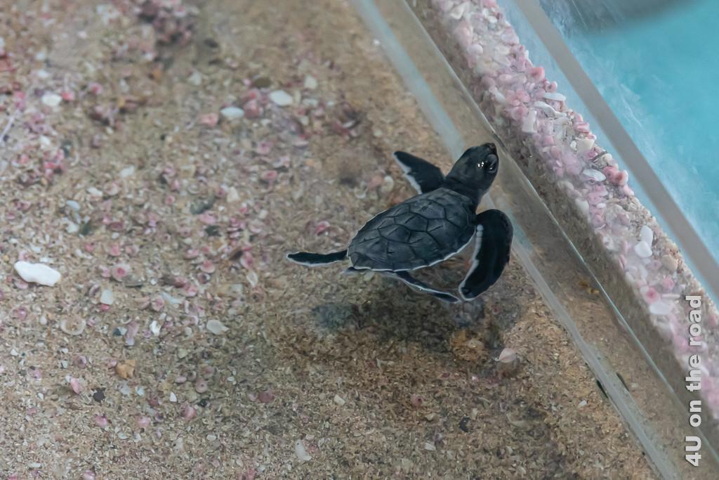 Grüne Meeresschildkröte - Baby, Ras al Jinz