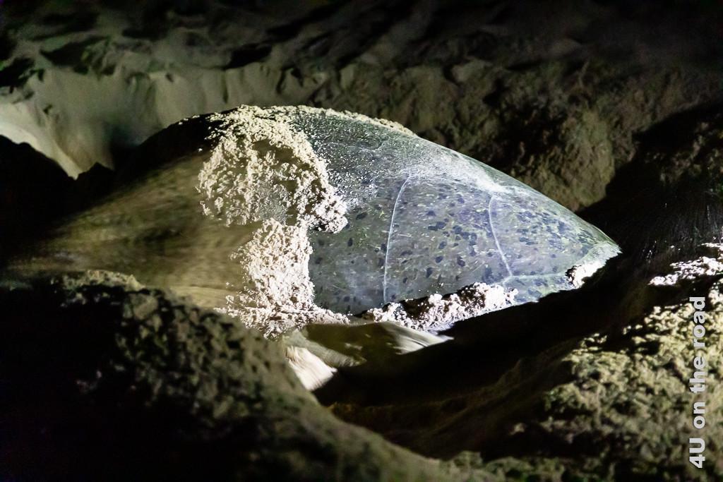 Ras al Jinz - Grüne Meeresschildkröte, beim Graben mit den vorderen Paddeln. Bild zeigt wie der Sand kraftvoll nach hinten fliegt.