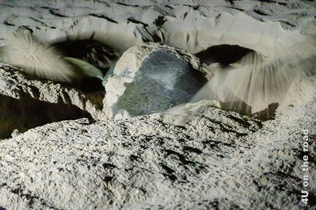 Ras al Jinz - Schildkröte beim Nestbau. Bild zeigt wie die Schildröte mit beiden Vorderpaddeln gräbt.