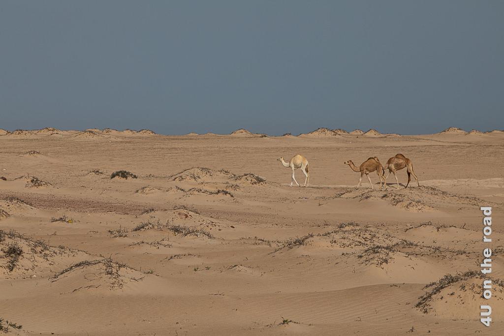 Bild Kamele im Sand zeigt die Nachhut einer grösseren Kamelherde. Zu sehen sind drei Teenager, eins fast weiss, zwei dunkel im Sand. An schwarzen Pflanzenhalmen erhebt sich der Sand zu kleinen Hügeln.