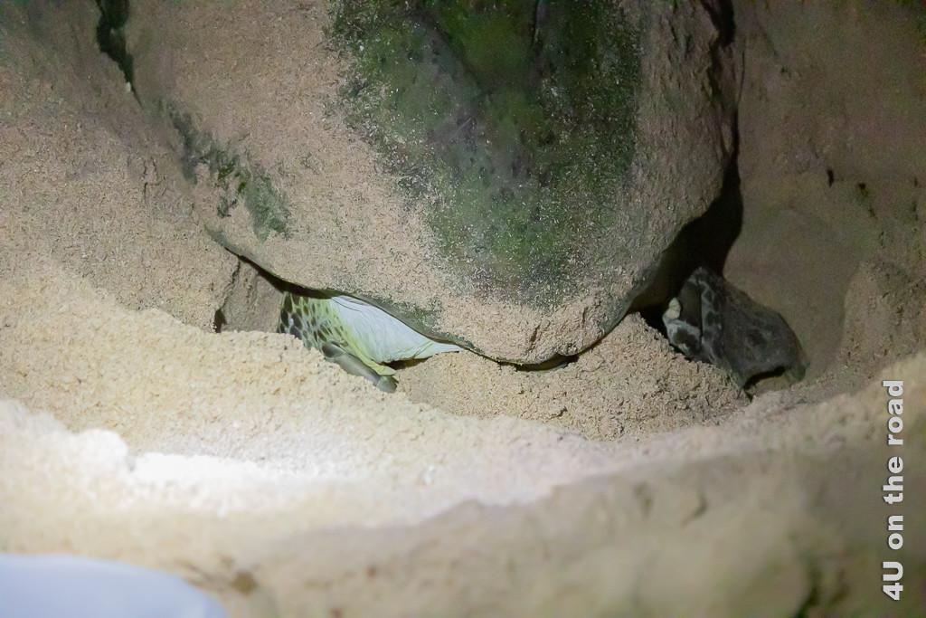 Ras al Jinz - Der Sand um die Eier wird mit den hinteren Paddeln festgestampft. Bild zeigt wie die Schildkröte ihr Gelege befestigt.