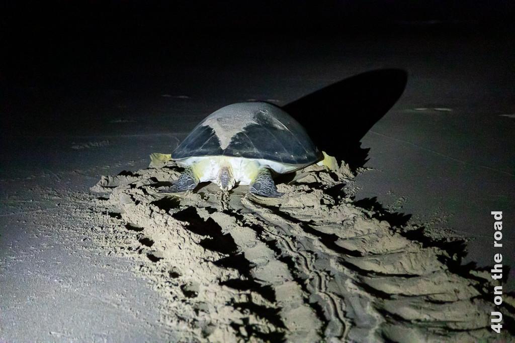 Ras al Jinz - Schildkröte auf dem Rückweg ins Wasser. Bild zeigt die Spuren im nassen Sand, die aussehen wie von einem Kettenfahrzeug und die Schildkröte, die sich eilig zum Wasser schiebt.