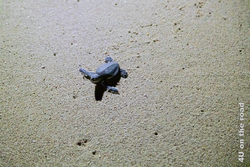 Ras al Jinz - Baby Schildkröte auf dem Weg ins Wasser. Bild zeigt die Babyschildkröte im nassen Sand.