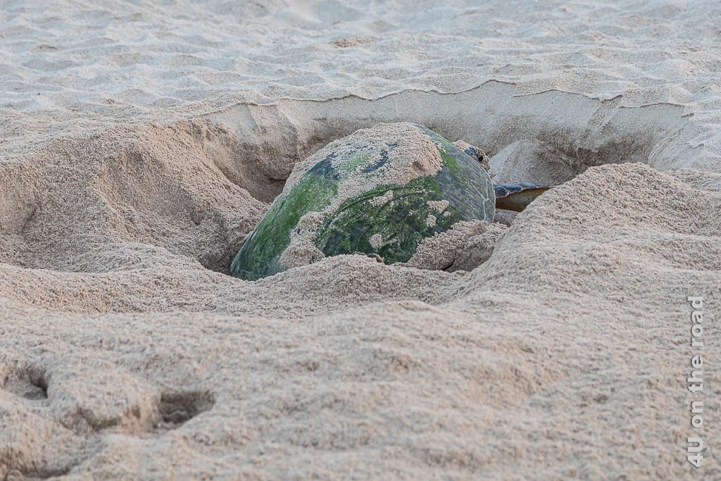Ras al Jinz - Diese Schildkröte hat noch etwas mehr Arbeit vor sich. Bild zeigt eine Schildkröte, die noch ihr Nest bedecken mussen bei Tagesanbruch.