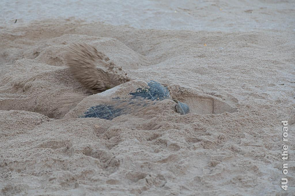 Ras al Jinz - Schildkröte kraftvoll bei der Arbeit. Bild zeigt grosse Schildkröte fast vollkommen mit Sand bedeckt beim Bedecken des Nestes.