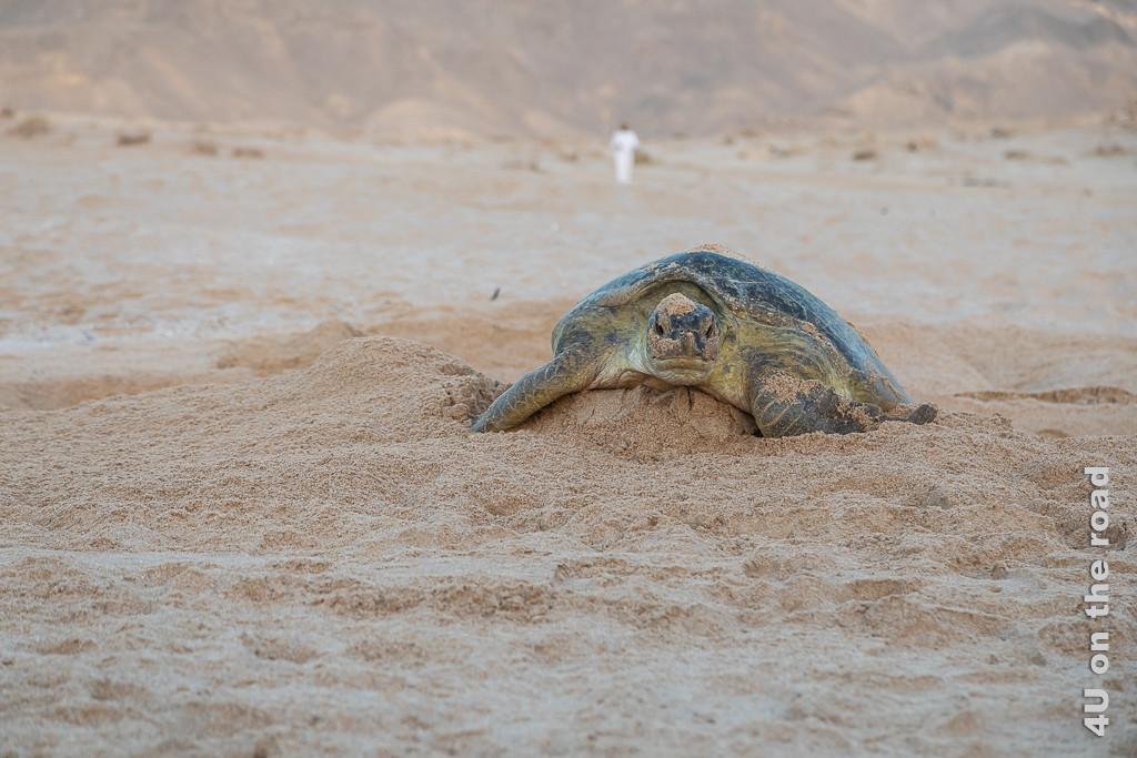 Ras al Jinz - Schildkröte hat sich aus dem Nest hochgearbeitet. Bild zeigt eine Nahaufnahme der Schildkröte von vorne.