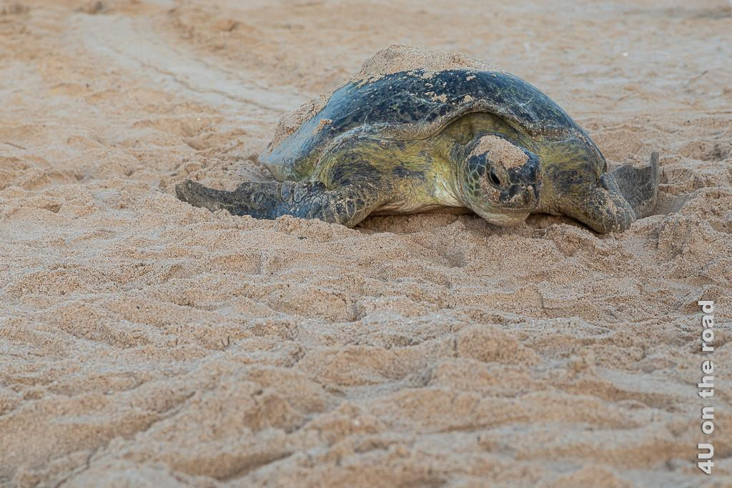 Ras al Jinz - die erschöpfte Schildkröte schleppt sich in Kurven zum Meer zurück. Bild zeigt die Schildkröte von vor, die sich zum Meer schleppt.
