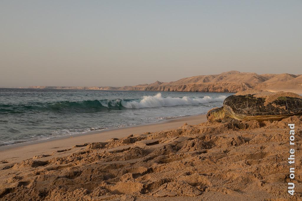 Ras al Jinz - Das Meer in Sichtweite, hält die Schildkröte noch einmal kurz inne Bild zeigt die Schildkröte wie sie hinunter auf die Welle im Meer Blickt. Man sieht den Sandstrand und die Felsküste.