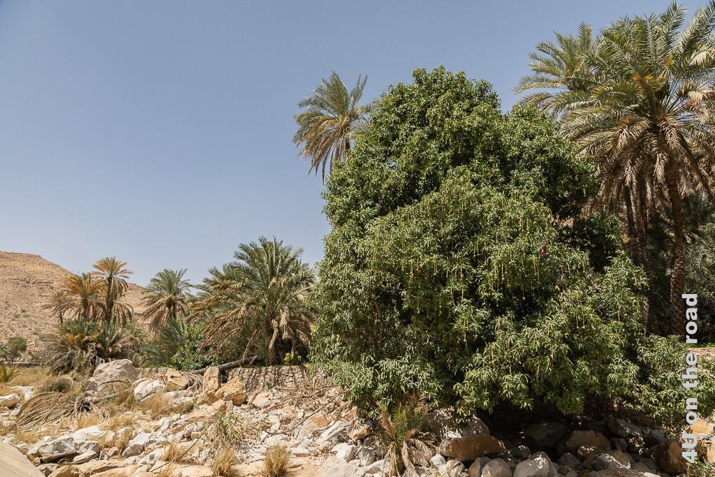 Wadi Bani Khalid - Ein riesiger Mangobaum macht neugierig auf die Gärten hinter der Mauer. Der Mangobaum mit vielen kleinen Früchten erhebt sich neben einem scheinbar trockenen Flusslauf über die Mauer. Dahinter sind verschiedene Palmen zu sehen.