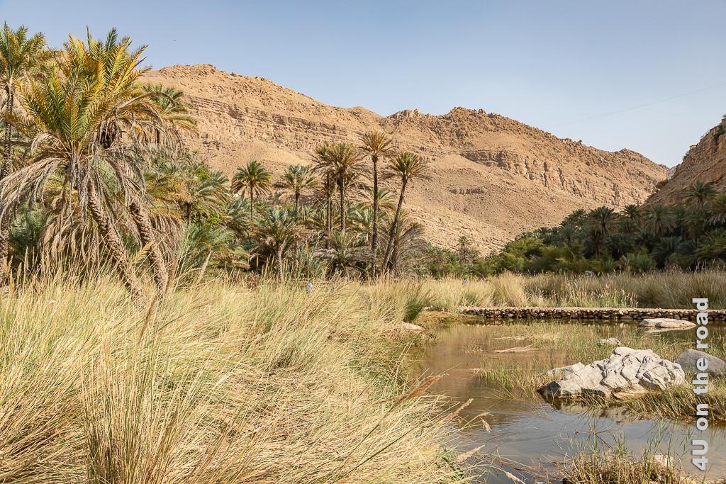 Wadi Bani Khalid - Paradies für Insekten. Hohe Gräser vor schiefen Palmen und Wasser bevor der Taleinschnitt sich scheinbar zu einem Kessel verengt.