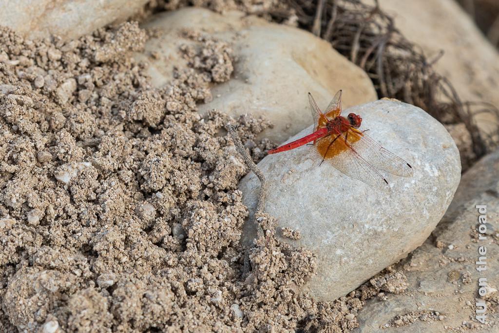 Wadi Bani Khalid - rote Libelle. Eine grosse rote Libelle sitzt auf einem Stein.