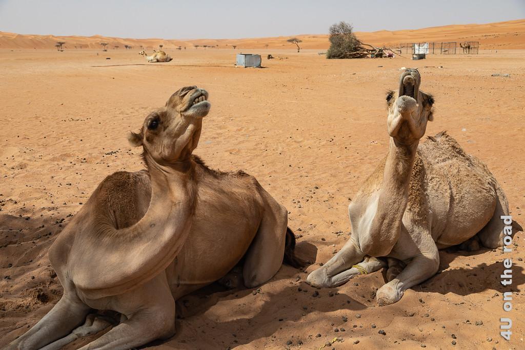 Kamele, die die Sonne anheulen, wie Wölfe den Mond - Wahiba