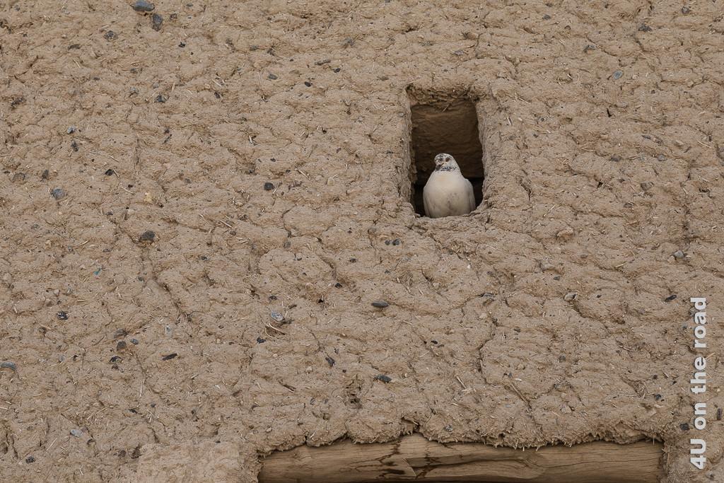 Bahla Fort - Hier sieht man schön den Putz aus Lehm mit Steinchen und Stroh. Eine weisse Taube geniesst die Aussicht von einer Öffnung in der Mauer aus.