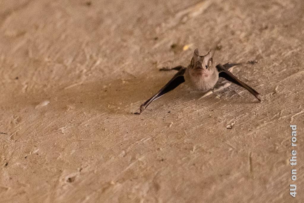 Fledermaus im Bahla Fort. Sie hat geöffnete Augen und eine ausgeprägte Nase.