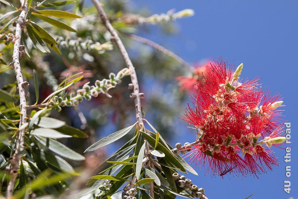 Blühender Busch, der an den karminroten Zylinderputzer erinnert
