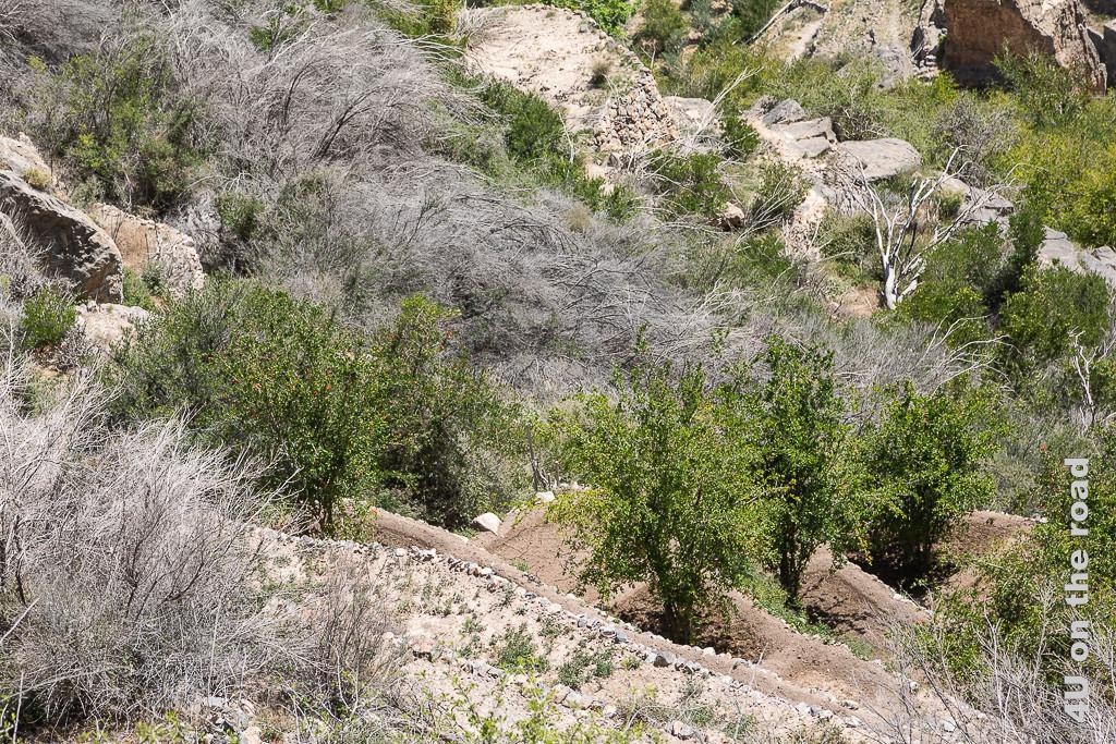 Hier wachsen Granatapfel Bäume auf den Terrassen