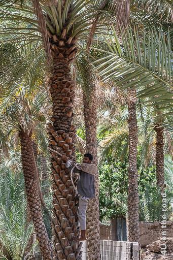 Klettertechnik - Im Bild sieht man einen Palmenstamm auf den ein Mann Barfuss mit einem Seil, welches am Rücken einen breiten Gurt hat die Palme nach oben klettert. Er hält sich mit beiden Händen am Seil fest, läuft so ein Stück hoch und schwingt dann das Seil wieder ein Stück höher.