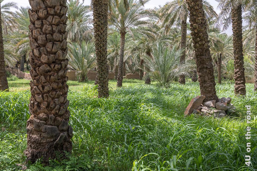 Dattelpalmen und Maispflanzen wachsen in den Gärten des Lehmbauviertels von Al Hamra