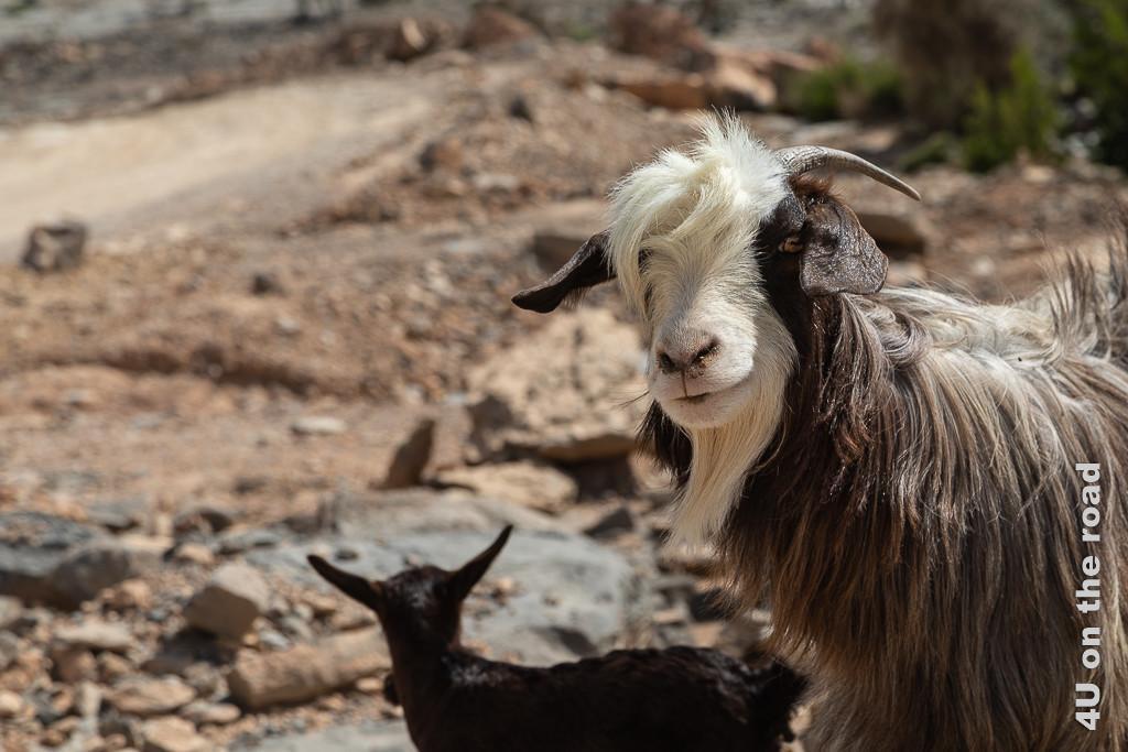 Auch auf dem Weg zum nächsten Aussichtspunkt werden wir neugierig begutachtet. Die Ziege, die neugierig zu uns schaut hat dunkelbraunes Fell mit weissem und braunem Gesicht. Markannt ist die weisse Haarlocke die über das eine Auge fällt und der weisse Bart. Im Hintergrund sieht man eine Babyziege.