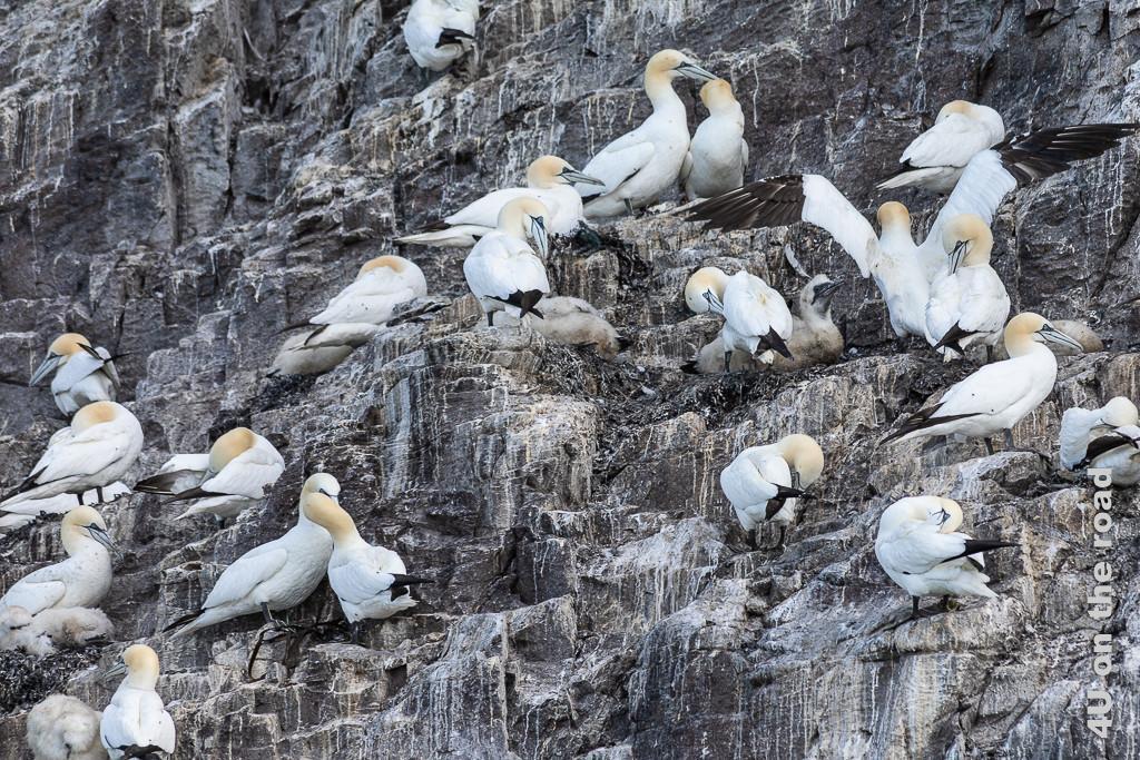 Bass Tölpel mit ihren Jungen auf den Felsvorsprüngen des Bass Rock. Die Jungvögel sind in grau-braune Daunen gehüllt und haben ein schwarzes Gesicht. Damit sind sie gut getarnt.