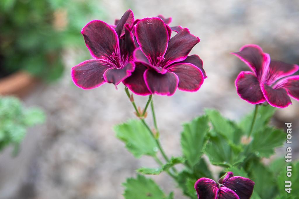 Lord Bute Geranie im Gewächshaus von Falkland Palace. Im Bild sieht man die grazile Blüte auf langen Stängeln. Fünf Blütenblätter in dunklem Bordeaux-Rot, vom einem pinken Rand umgebenen, umgeben die mit pinken Strichen gezeichnete Mitte.