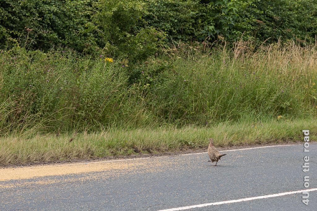 Diese Fasan Henne wähnt sich im Schlaraffenland. Die Henne bleibt auf der Strasse beim verschütteten Getreide.