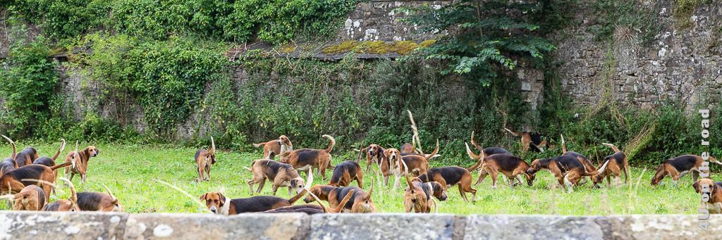 Jagdhunde beim Auslauf auf einem ummauerten Wiesenstück